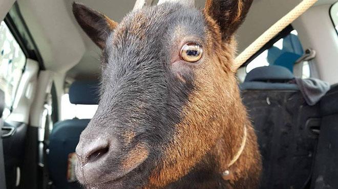 A la Louvière, une chèvre égarée se retrouve dans la cour d'une école: