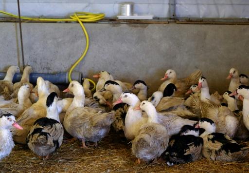 Virus aviaire: plus de 9.000 canards abattus par précaution dans le Gers