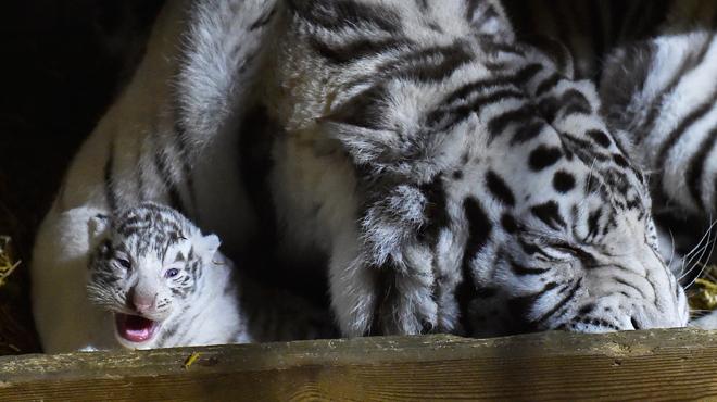 Naissance d'un rhinocéros blanc et de trois tigres blancs dans un zoo en France