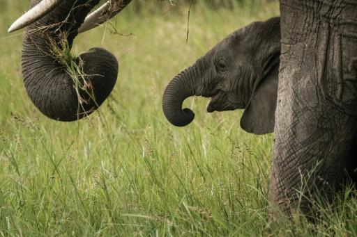 Les éléphants de différentes espèces ne s'accouplent plus entre eux (étude)
