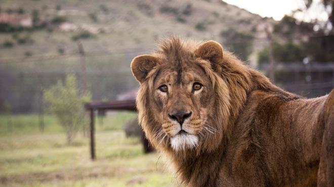 Une jeune femme de 22 ans tuée par une lionne dans une réserve privée: