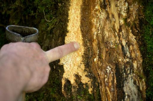 Maladie du frêne: l'Inra lance un appel pour l'aider au repérage
