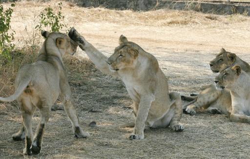 Inde: hausse du nombre de lions d'Asie, espèce menacée