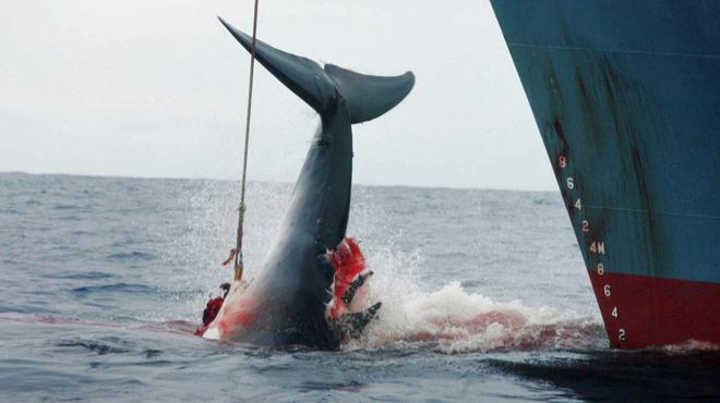 Face au désintérêt des Norvégiens pour la chasse à la baleine, la Norvège fait tout pour relancer l'activité