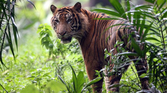 Un homme a été tué par un tigre alors qu'il travaillait sur un chantier en Indonésie