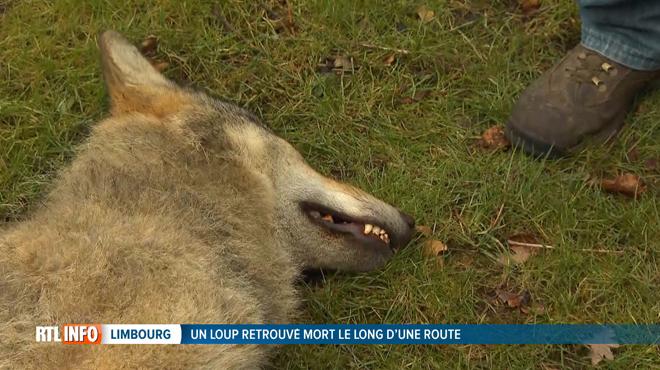 Deux brebis mortes dans le Limbourg, un loup retrouvé mort le long d'une route