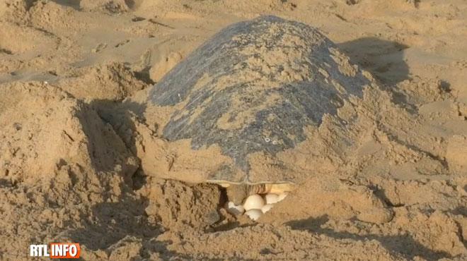 Exceptionnel: entre 300.000 et 400.000 tortues pondent chaque année sur cette plage indienne