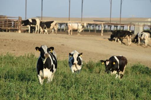 Aux Etats-Unis, le désarroi des petits producteurs de lait bio