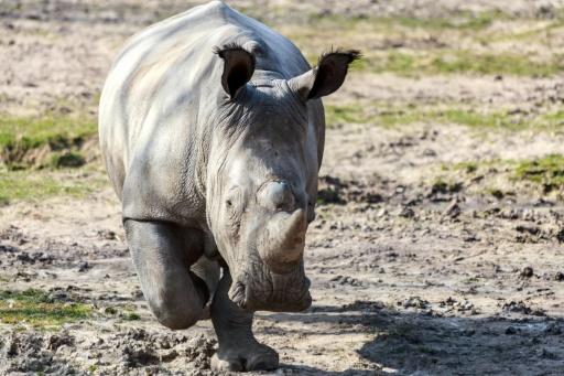 Depuis la mort de Vince, les rhinos plus protégés, toujours convoités