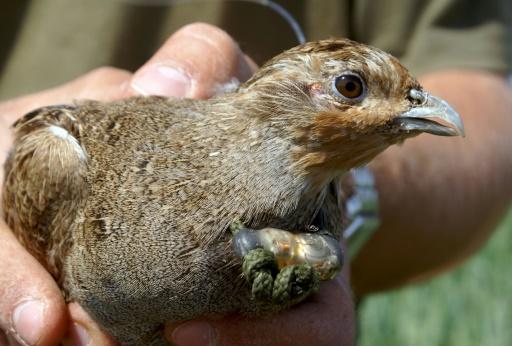 Les oiseaux des campagnes disparaissent à une vitesse vertigineuse