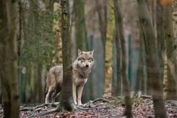 La présence d'un loup signalée en Ardenne