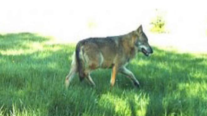 La présence d'un loup signalée en Ardenne: