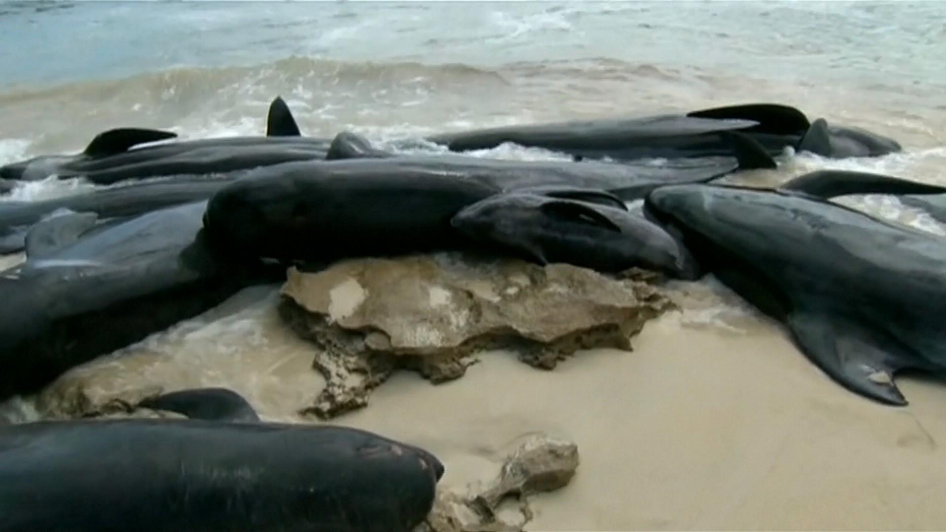 150 baleines échouées dans une baie au sud-ouest de l'Australie