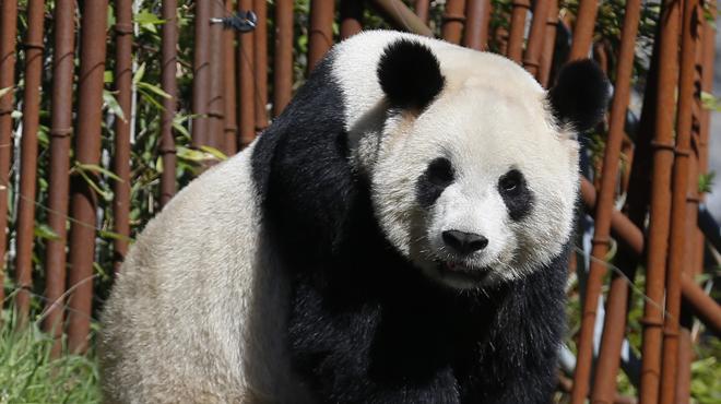 Bientôt un deuxième bébé panda à Pairi Daiza ?