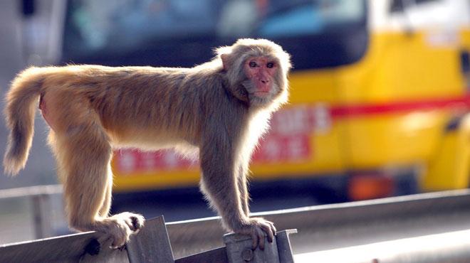Inde: un bébé kidnappé par un singe a été retrouvé mort