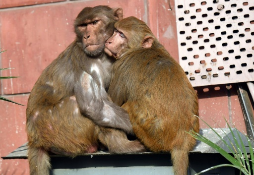 Inde: un bébé kidnappé par un singe retrouvé mort