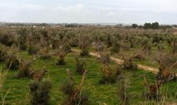 La bactérie xylella détectée sur des oliviers et chênes verts en Corse