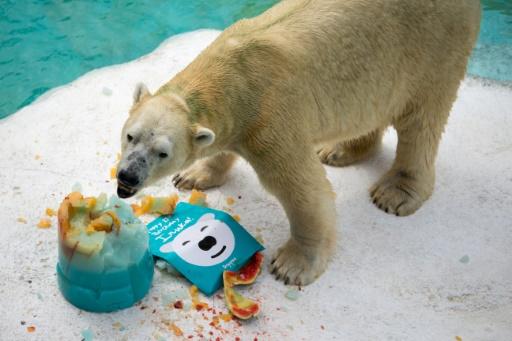 Le premier ours polaire né sous les Tropiques pourrait être abattu