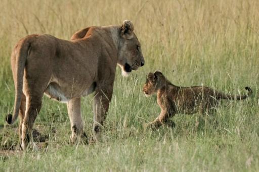 Ouganda: 11 lions retrouvés morts dans un parc national