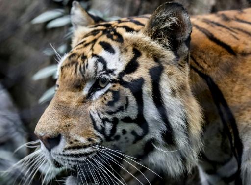 Populaires mais en danger: tigres, lions et pandas victimes de leur succès (étude)