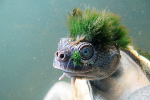Une tortue australienne punk classée parmi les reptiles menacés