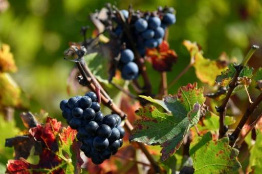 Climat: le goût incertain du vin en 2050