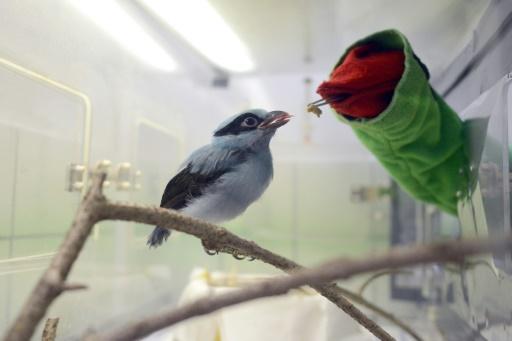 République tchèque: une marionnette pour nourrir des oiseaux de Java