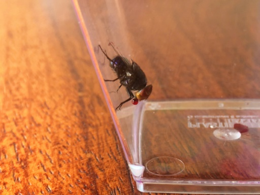 Une mouche qui fait des bulles de salive pour se rafraîchir