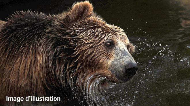 Un ours est mort pendant une opération de capture en Italie: il appartenait à une espèce menacée d'extinction