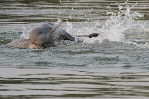 Cambodge: les dauphins de l'Irrawaddy toujours menacés mais plus nombreux