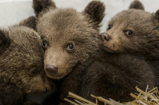 Trois oursons sans famille recueillis en Bulgarie