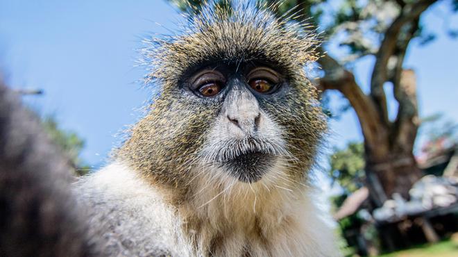 Macaque ou photographe: la Justice a décidé à qui appartenaient les droits d'auteurs d'un des selfies les plus célèbres au monde