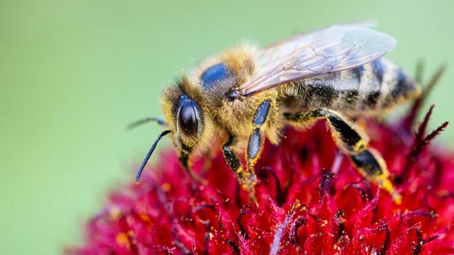 L'UE bannit l'utilisation de trois pesticides tueurs d'abeilles: la Belgique va demander une dérogation
