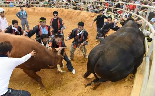 Japon: les femmes ne sont plus interdites dans l'arène des combats de taureaux