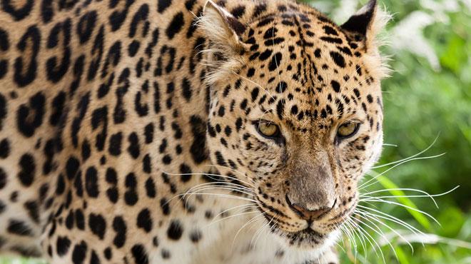 Un enfant dévoré par un léopard dans un parc national d'Ouganda: