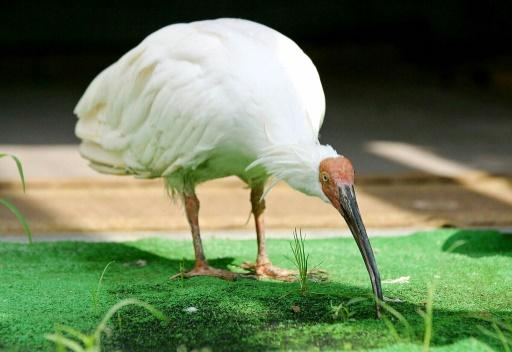 Chine-Japon: l'ibis nippon vole au secours de la
