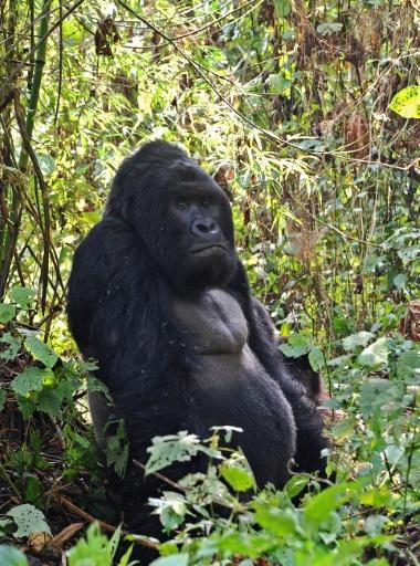 RDC: menacé de toutes parts, le parc des Virunga interdit l'abattage d'arbres