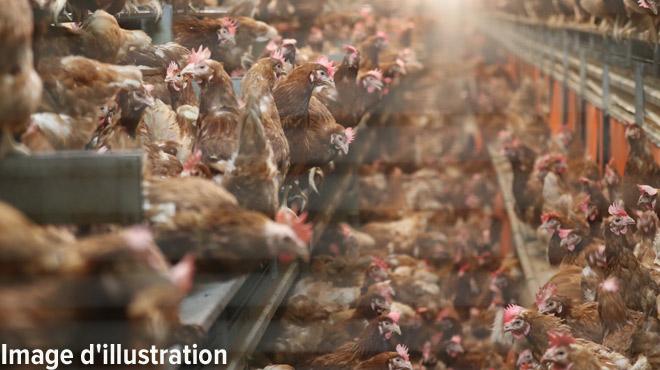 Après le boeuf, le poulet: deux responsables d'un abattoir flamand réputé ont été arrêtés pour