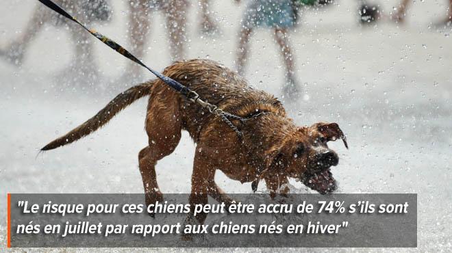 Les chiens nés durant l'été présentent plus de risques cardiaques
