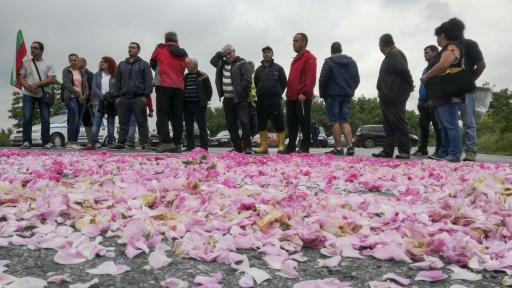 Bulgarie: des pétales de rose à profusion mais les producteurs broient du noir
