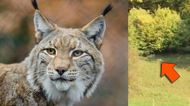 Le lynx de retour en Belgique? Cette vidéo tournée dans les Fourons intrigue les experts