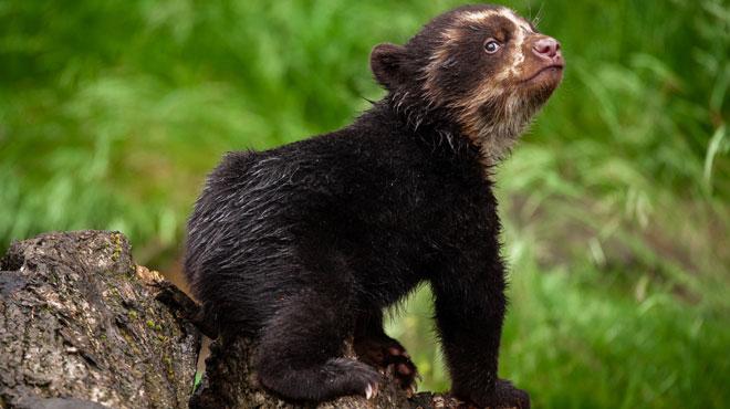 Sous le regard émerveillé des visiteurs, l'ourson à lunettes du zoo d'Anvers fait ses premiers pas (VIDÉO)