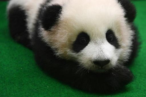 Un deuxième bébé panda né au zoo de Kuala Lumpur présenté au public
