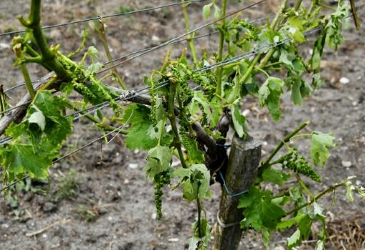 Grêle: plus de 7.000 hectares endommagés dans le vignoble bordelais