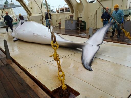 Japon: 122 baleines enceintes tuées au cours de l'expédition dans l'Antarctique