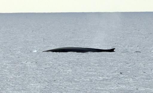 Egypte: une baleine bleue observée dans la mer Rouge