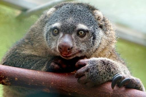 Pologne: Première naissance en captivité d'un couscous, marsupial indonésien