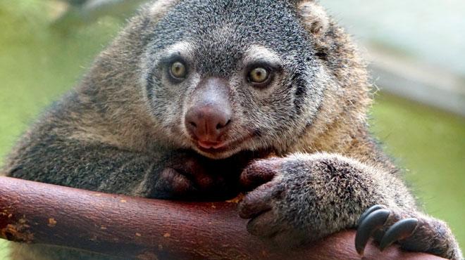 Première mondiale: un COUSCOUS est né en captivité, dans un zoo de Pologne