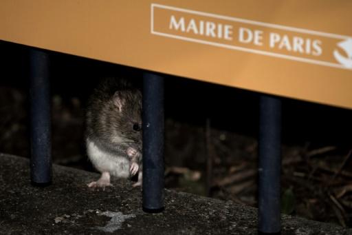 Paris: la chasse aux rats est lancée... sur internet
