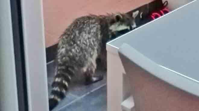Il découvre un raton laveur dans sa véranda dans la région de Virton: